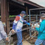 Plt Gubernur Aceh Lepas Sapi Karantina ke Padang Penggembalaan