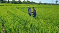 Personel TNI di Abdya Bantu Petani Pantau Perkembangan Padi